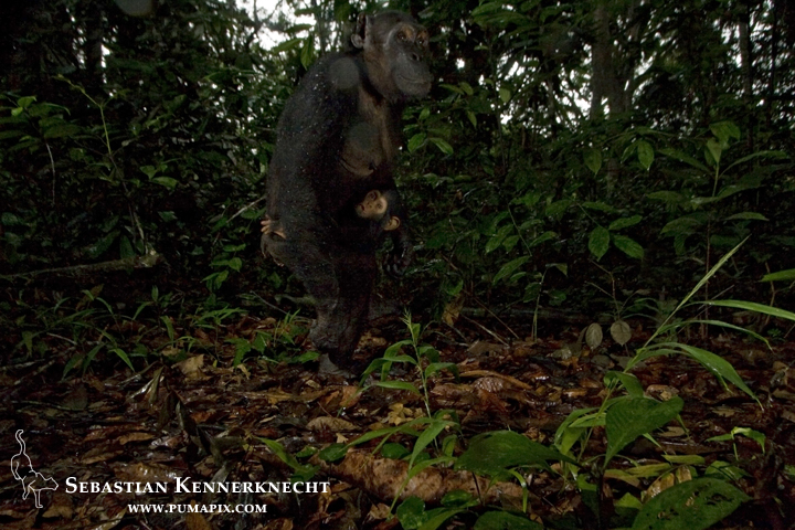 Chimpanzee (Pan troglodytes) mother and baby in tropical rainforest, Lope National Park, Gabon