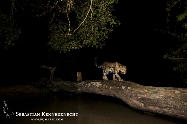 African Leopard (Panthera pardus) female, with Fire Ant (Solenopsis sp) damaged eyes, crossing log bridge over river at night, Lope National Park, Gabon