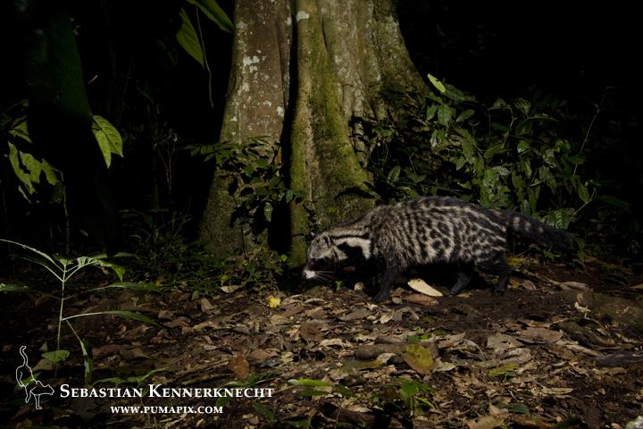African Civet (Civettictis civetta) walking through rainforest at night, Kibale National Park, western Uganda