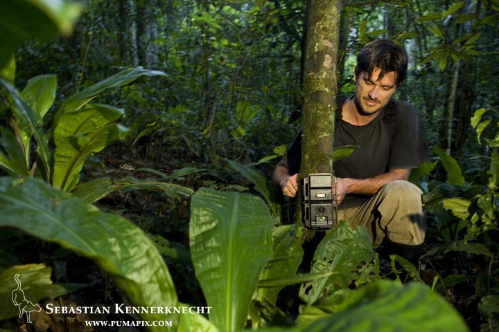 African Golden Cat (Profelis aurata aurata) researcher, David Mills, placing camera trap on tree, Kibale National Park, western Uganda