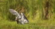 Shoebill (Balaeniceps rex) landing with fish prey, Lake Albert, Toro-Semliki Wildlife Reserve, Western Rift Valley, Great Rift Valley, western Uganda