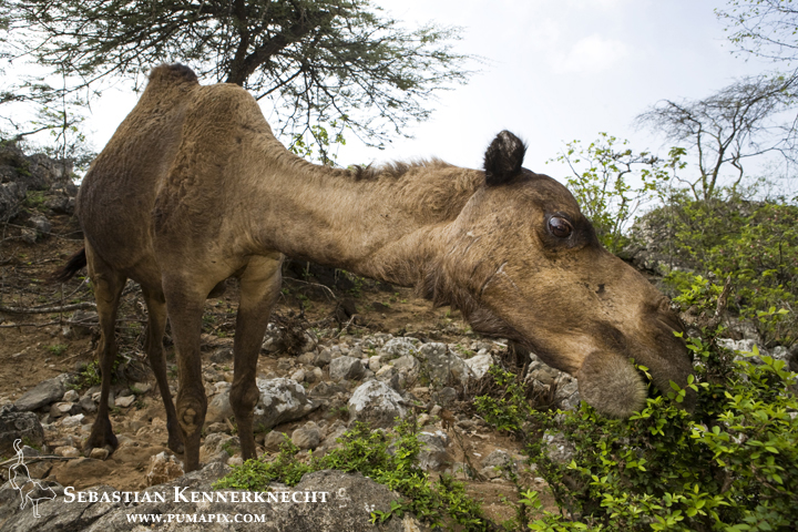 Overgrazing caused by livestock, like this camel, leads to less vegetation, which leads to less food for native herbivores, and therefor a decrease in the native prey of the Arabian Caracals.