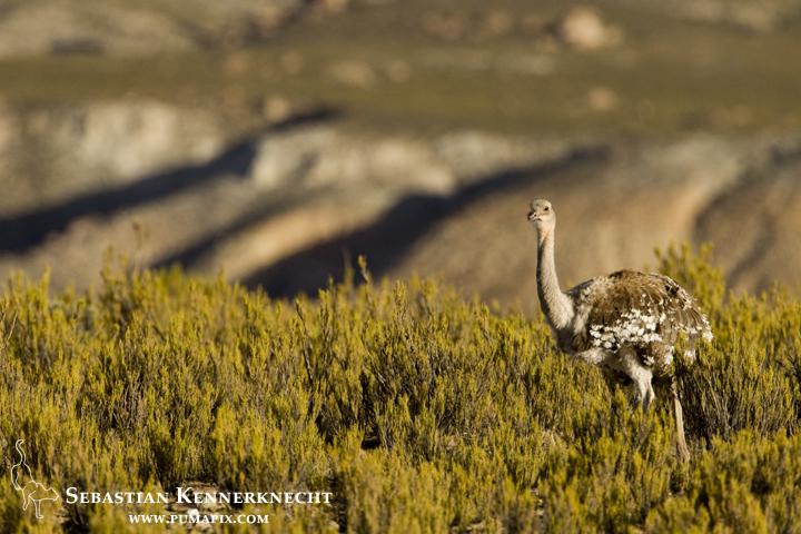 Lesser Rhea (Rhea pennata), Andes, Jujuy Province, northwestern Argentina