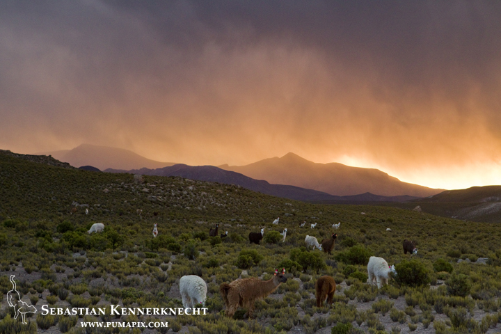 Llama (Lama glama) herd grazing at sunset, Andes, Jujuy Province, northwestern Argentina