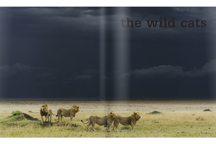 Can you say gorgeous? This lion picture is part of the opening spread in Luke Hunter's Wild Cats of the World Book