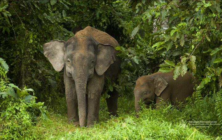 free pygmy elephant wallpaper sebastian kennerknecht